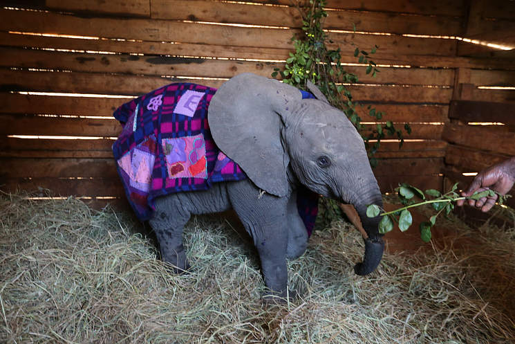 Enkesha the Elephant, from Environmental                           Encroachment's site
